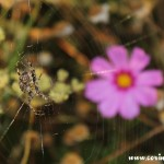 Spider and wildflower, Twickenham