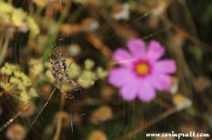 Spider and wildflower, Twickenham