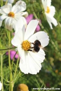 Bee on a wildflower, Twickenham