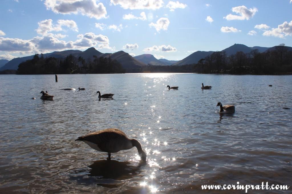 Geese, Derwentwater, Lake District