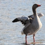 Goose, Derwentwater, Lake District
