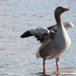 Goose, Derwentwater, Lake District