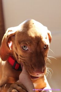 Mokey, the Hungarian Vizsla puppy