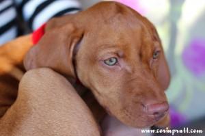 Mokey, the Hungarian Vizsla puppy