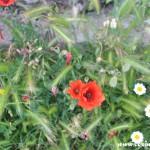 Wildflowers on Il Sentiero degli Dei