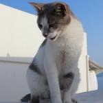 Cat, Oia, Santorini
