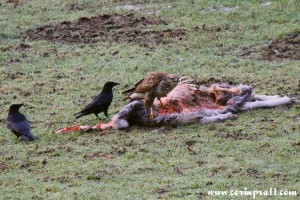 Buzzard on sheep carcass, Elterwater, Great Langdale, Lake District