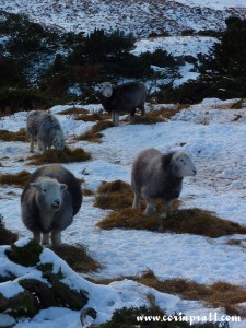 Langdale sheep in the snow, Lake District