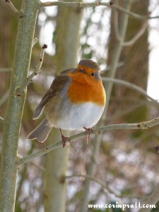 Robin near Skelwith Bridge, Lake District