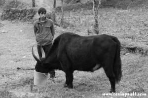 A man and his yak, Yuksom/Yuksum, Sikkim, India