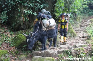 A trek guide and his yak, KNP, Yuksom/Yuksum, Sikkim, India