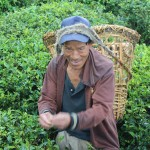 Tea picker, Sikkim, India