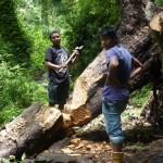 Men chopping through a tree, KNP, Yuksom/Yuksum, Sikkim, India