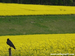 Crow by field of rapeseed