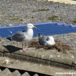Herring Gulls nesting at Newlyn Harbour, Cornwall