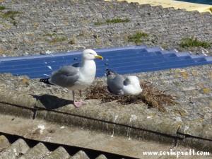 Herring Gulls nesting at Newlyn Harbour, Cornwall