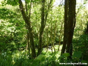Woodland by Lamorna Cove, Cornwall