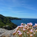 Flowers on the Coast, Land's End, Cornwall