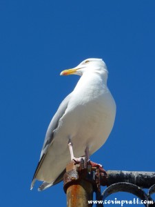 Herring Gull, St Ives, Cornwall