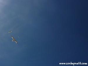 Circling Herring Gulls, St Ives, Cornwall