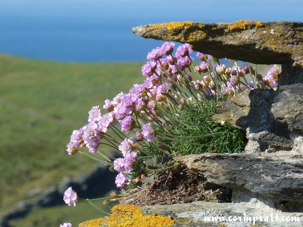 Flowers at Tintagel, Cornwall