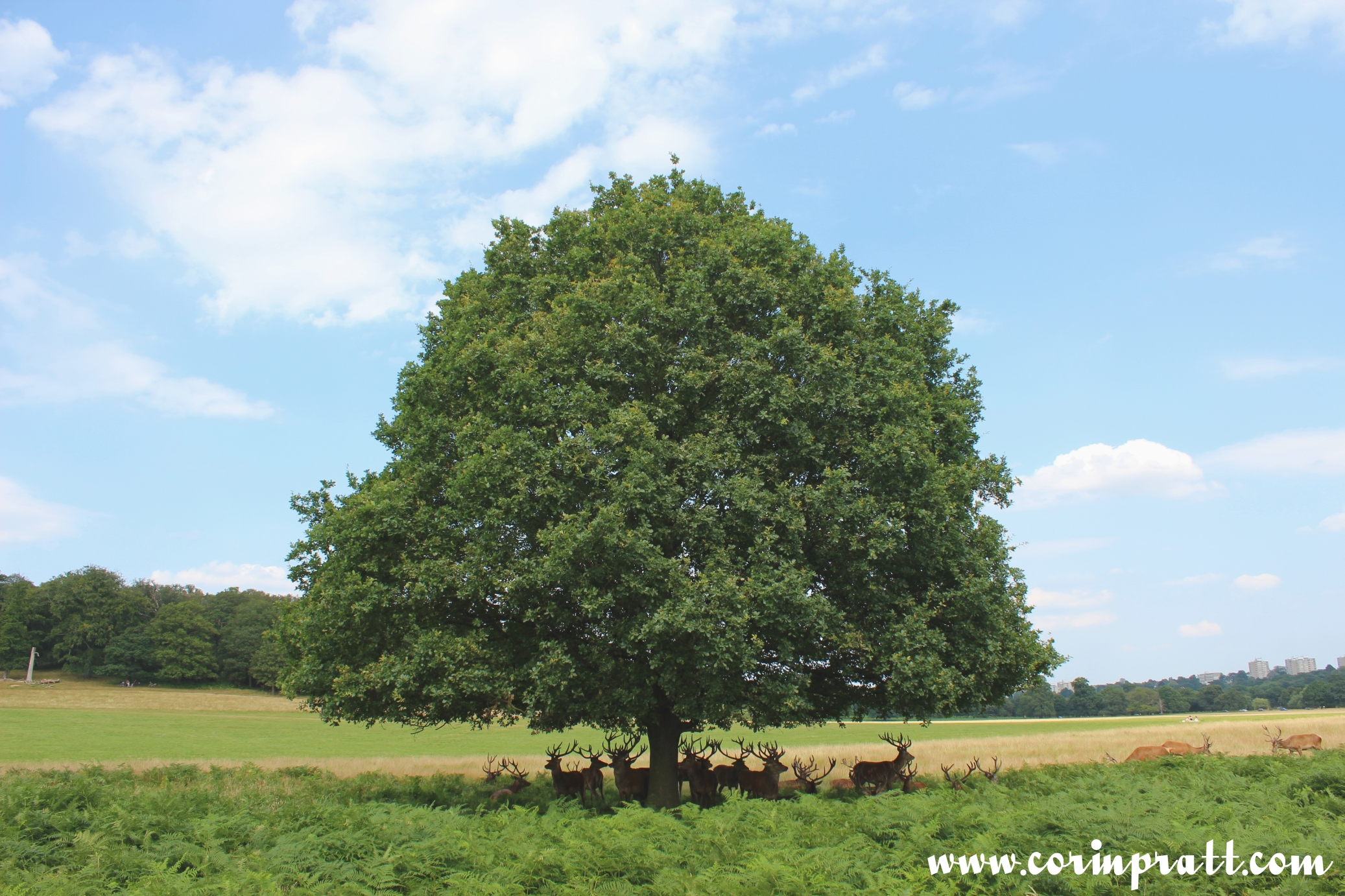 Red deer tree shade, Richmond Park