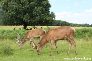 Red deer feeding, Richmond Park