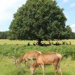 Red deer feeding, Richmond Park
