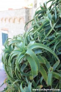 Aloe arborescens plants, Capri, Italy