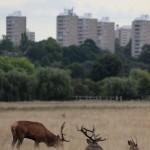Red deer cityscape, Richmond Park