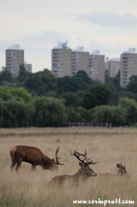 Red deer cityscape, Richmond Park