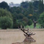 Red deer cityscape, stag, rut, Richmond Park
