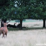 Red deer, stag, rut, Richmond Park