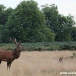 Red deer, stag, rut, Richmond Park