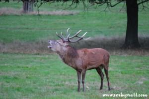 Red deer stag roaring, rut, Richmond Park